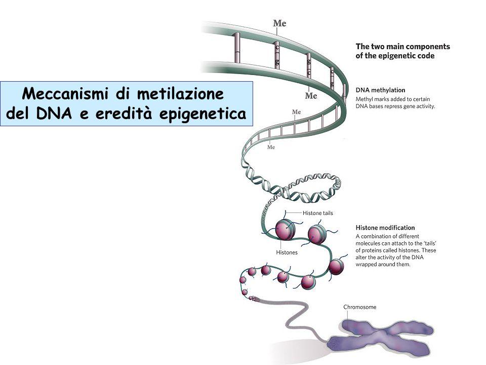 Meccanismi di metilazione del DNA e eredità epigenetica