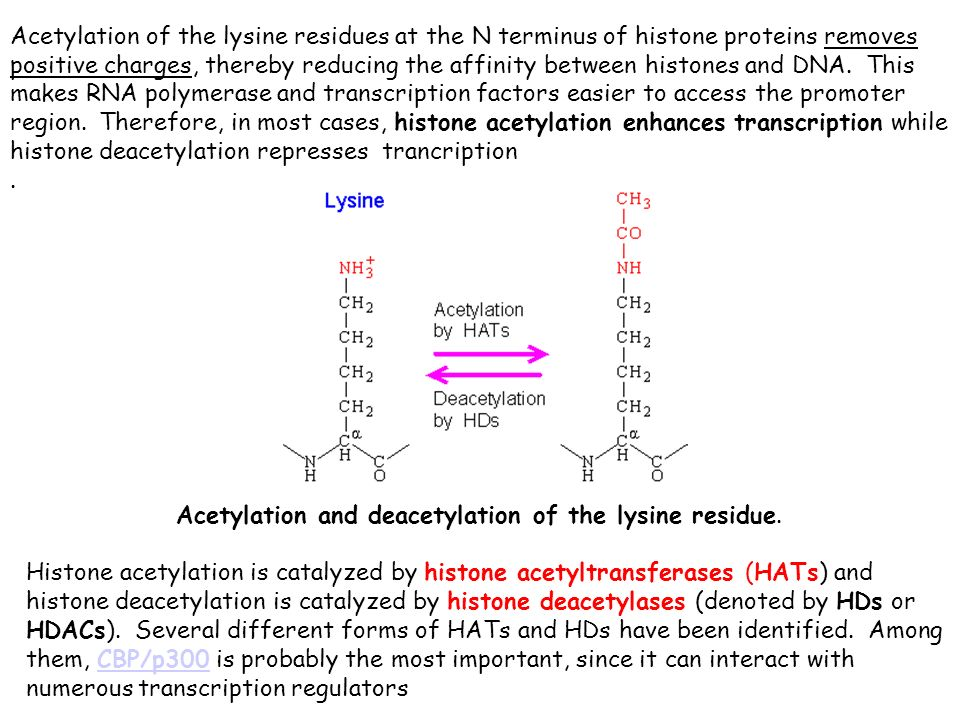 Acetylation of the lysine residues at the N terminus of histone proteins removes positive charges, thereby reducing the affinity between histones and DNA. This makes RNA polymerase and transcription factors easier to access the promoter region. Therefore, in most cases, histone acetylation enhances transcription while histone deacetylation represses trancription