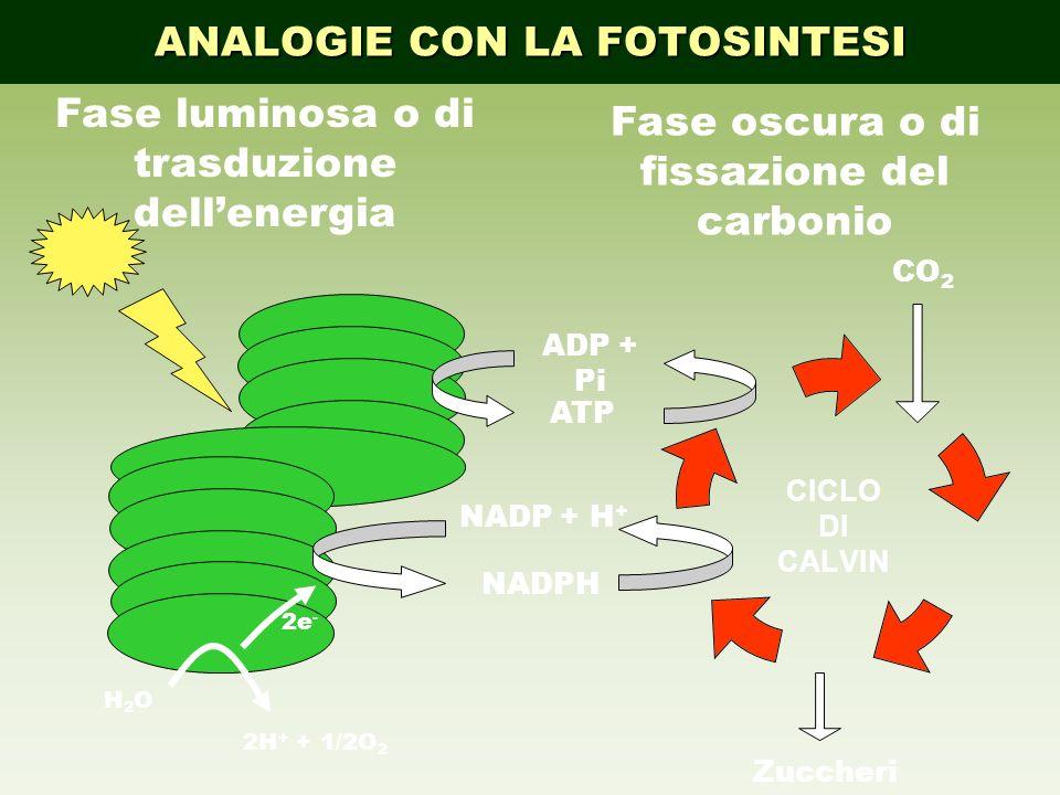 trasduzione dell'energia Fase oscura o di fissazione del carbonio