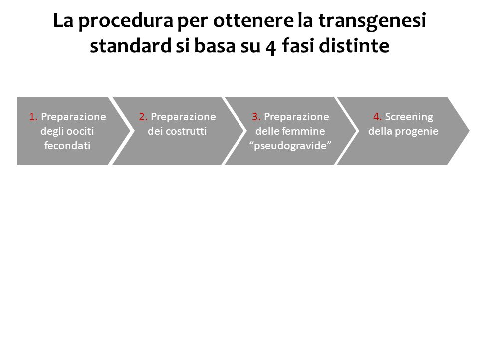 La procedura per ottenere la transgenesi standard si basa su 4 fasi distinte