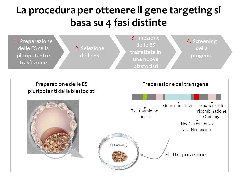 La procedura per ottenere il gene targeting si basa su 4 fasi distinte
