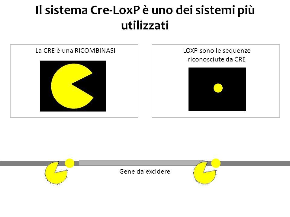 Il sistema Cre-LoxP è uno dei sistemi più utilizzati