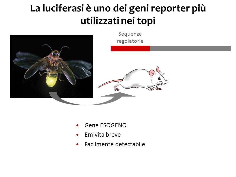 La luciferasi è uno dei geni reporter più utilizzati nei topi