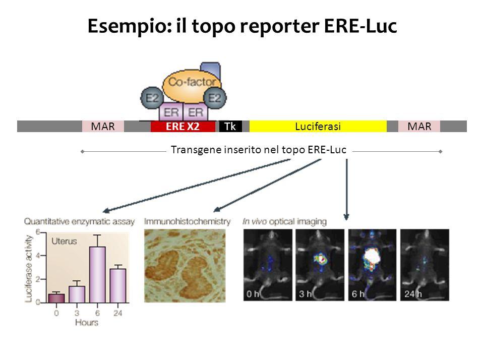 Esempio: il topo reporter ERE-Luc