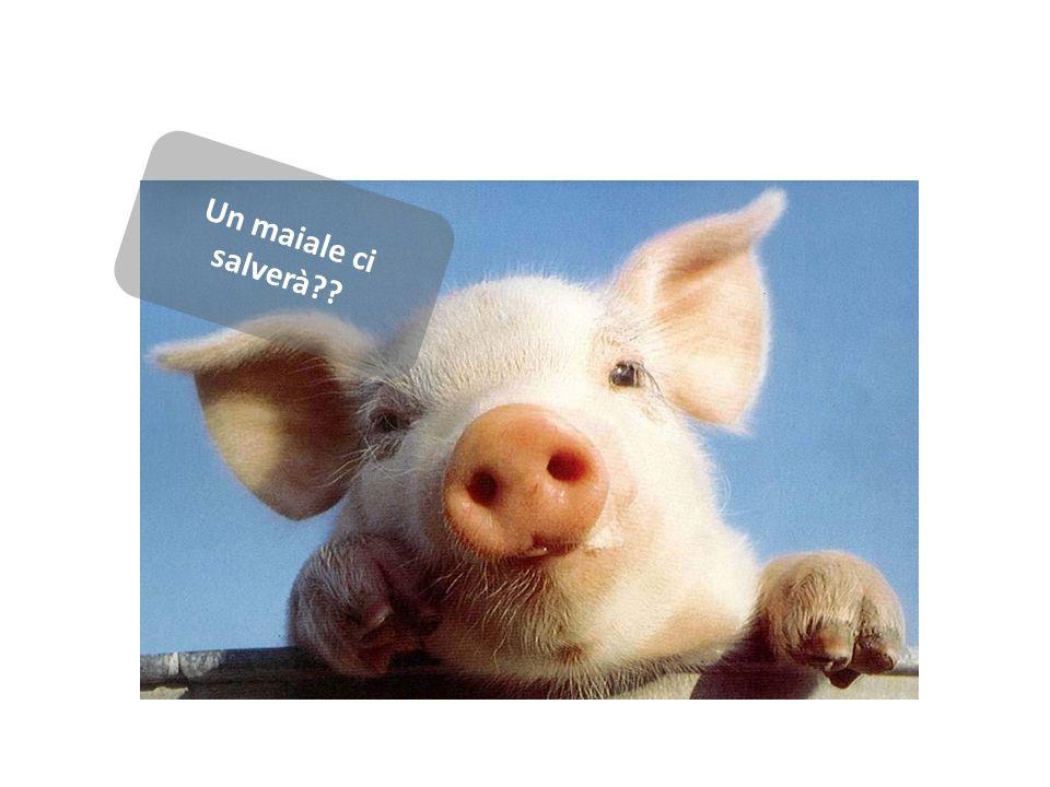 Un maiale ci salverà