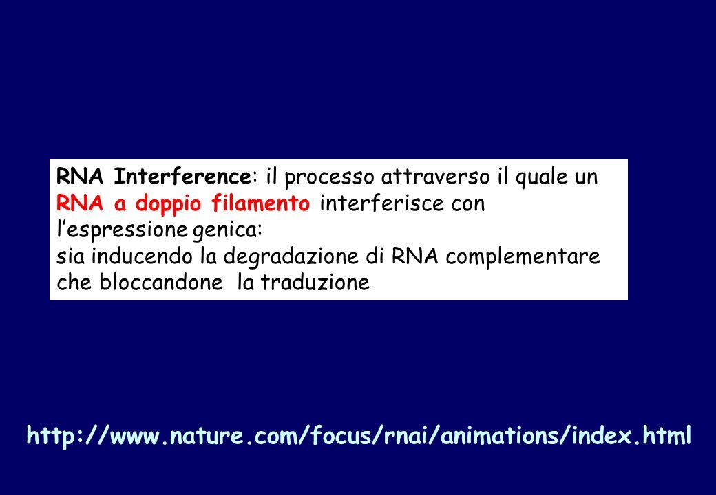 RNA Interference: il processo attraverso il quale un RNA a doppio filamento interferisce con l'espressione genica: