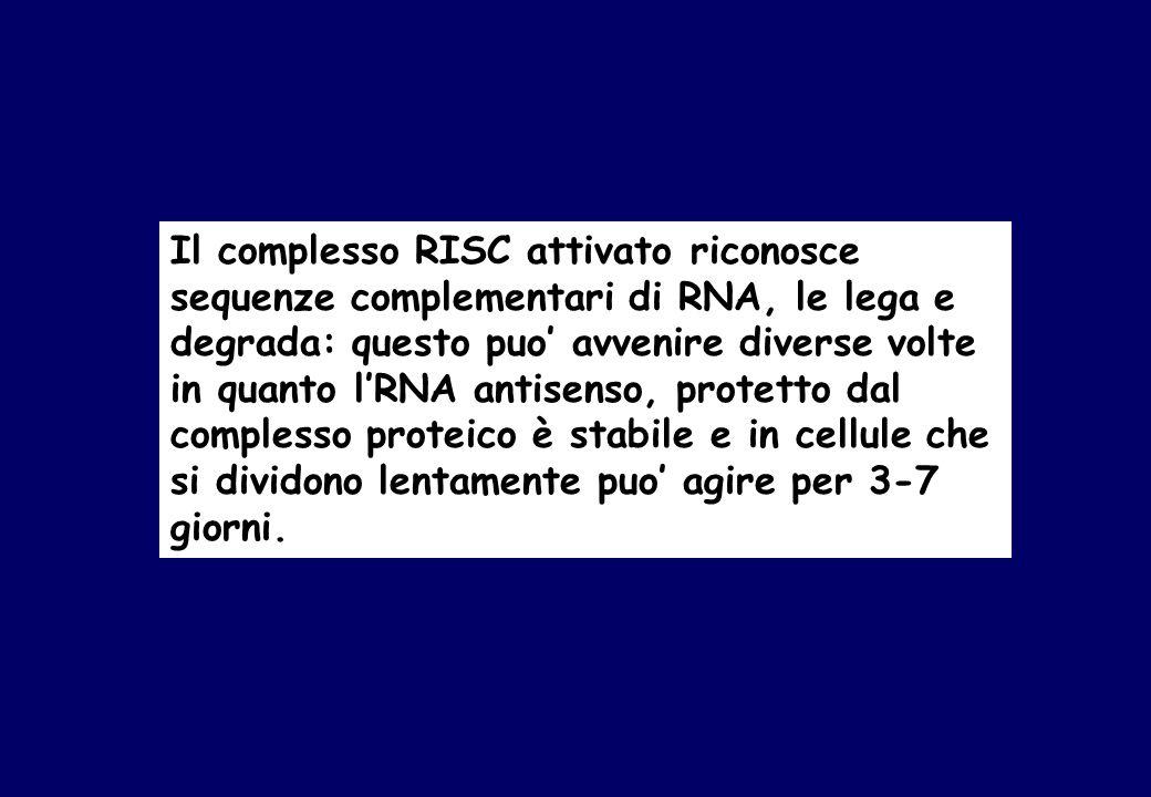 Il complesso RISC attivato riconosce sequenze complementari di RNA, le lega e degrada: questo puo' avvenire diverse volte in quanto l'RNA antisenso, protetto dal complesso proteico è stabile e in cellule che si dividono lentamente puo' agire per 3-7 giorni.