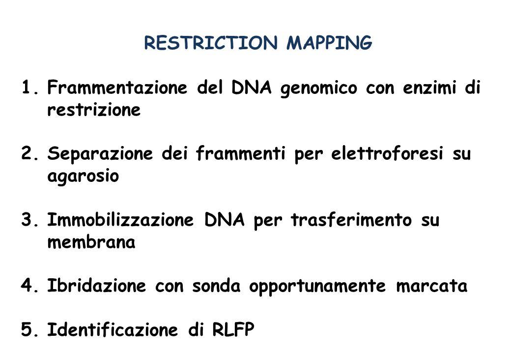 RESTRICTION MAPPING Frammentazione del DNA genomico con enzimi di restrizione. Separazione dei frammenti per elettroforesi su agarosio.