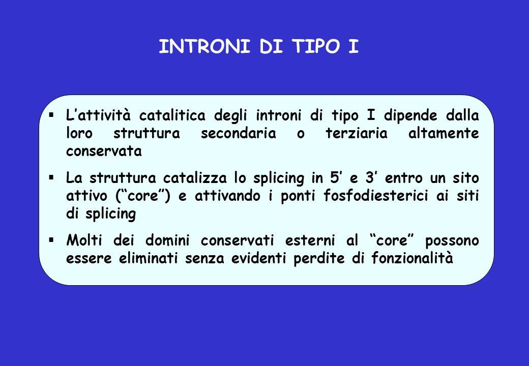 INTRONI DI TIPO I L'attività catalitica degli introni di tipo I dipende dalla loro struttura secondaria o terziaria altamente conservata.