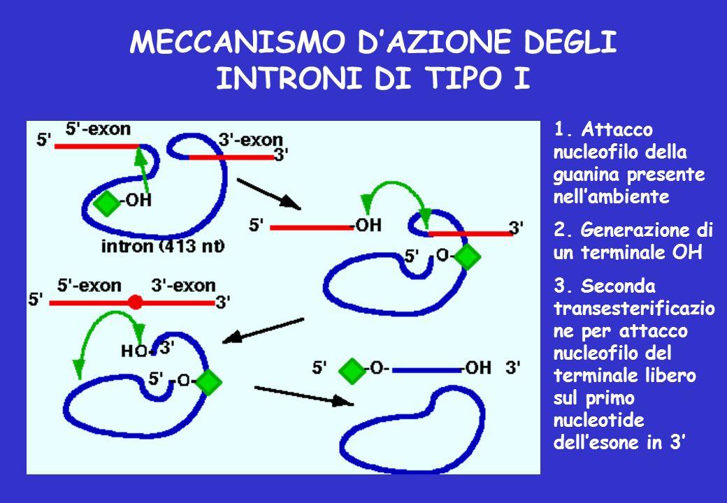 MECCANISMO D'AZIONE DEGLI INTRONI DI TIPO I