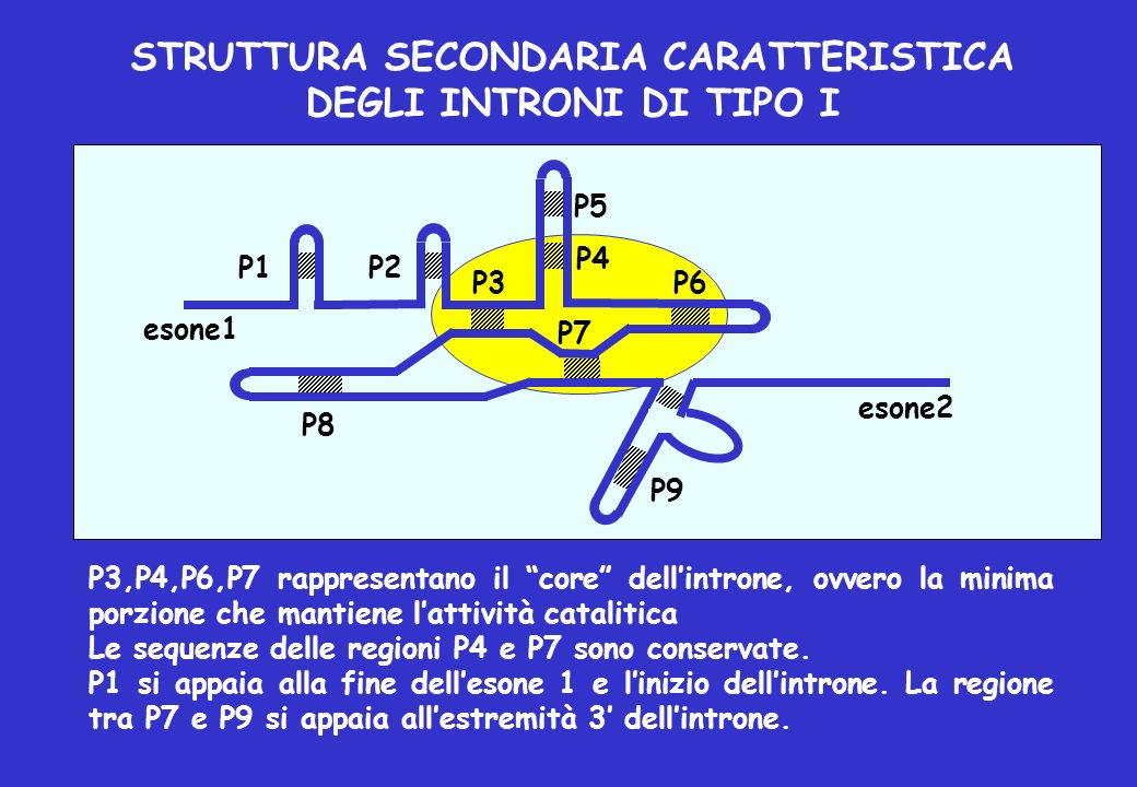 STRUTTURA SECONDARIA CARATTERISTICA DEGLI INTRONI DI TIPO I