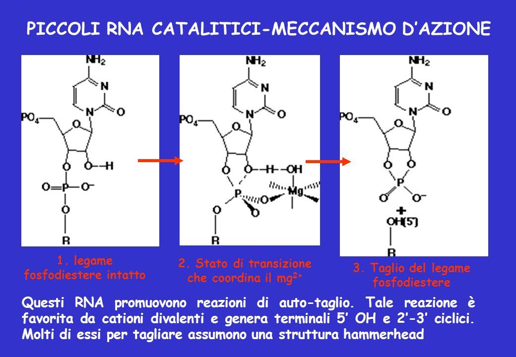PICCOLI RNA CATALITICI-MECCANISMO D'AZIONE