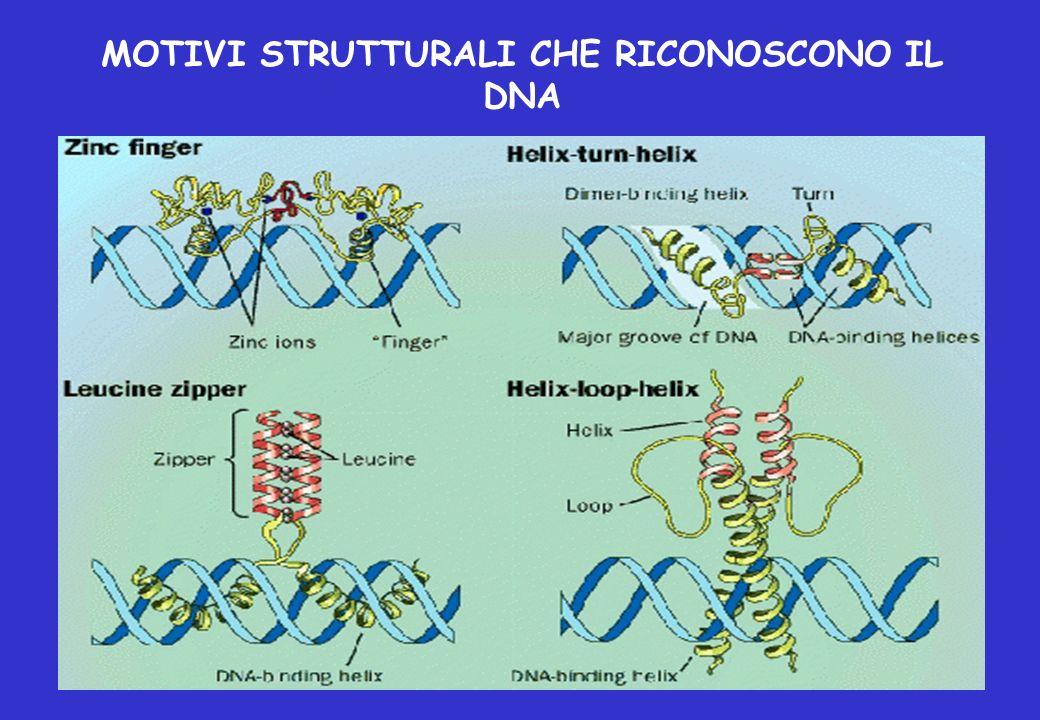 MOTIVI STRUTTURALI CHE RICONOSCONO IL DNA