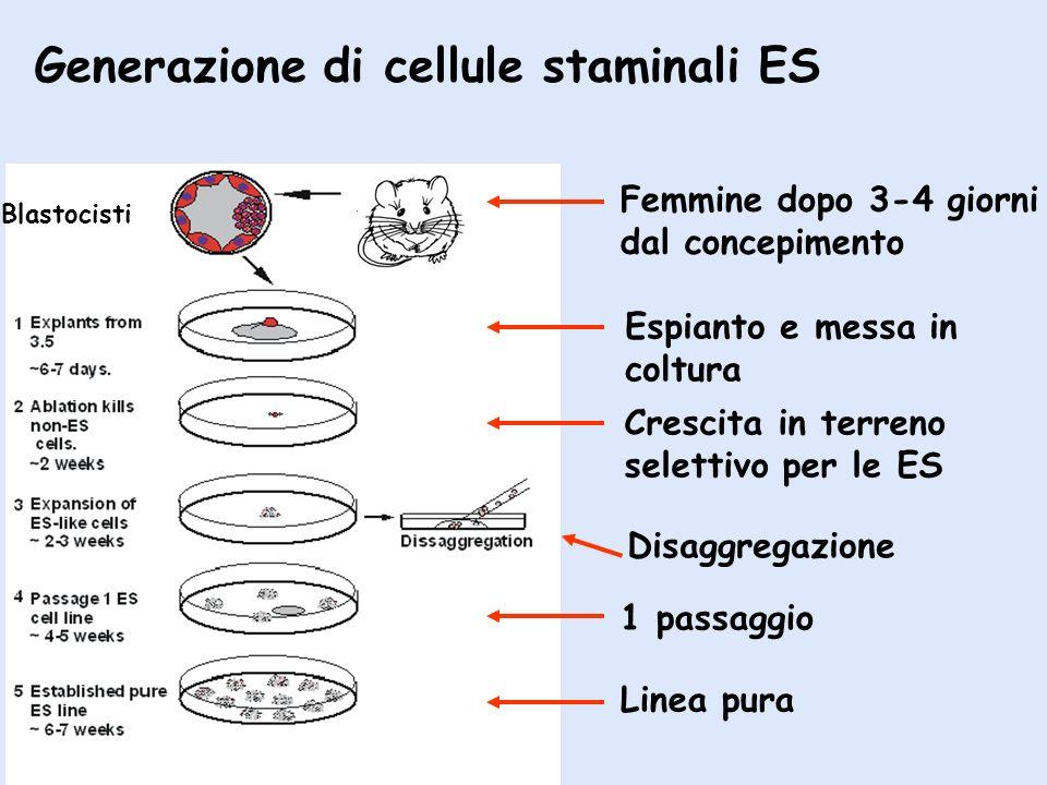 Generazione di cellule staminali ES