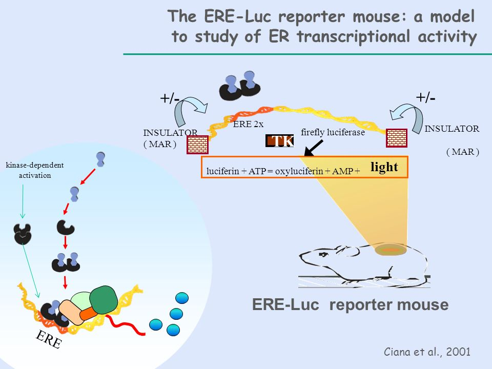 The ERE-Luc reporter mouse: a model
