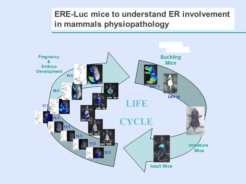 ERE-Luc mice to understand ER involvement in mammals physiopathology
