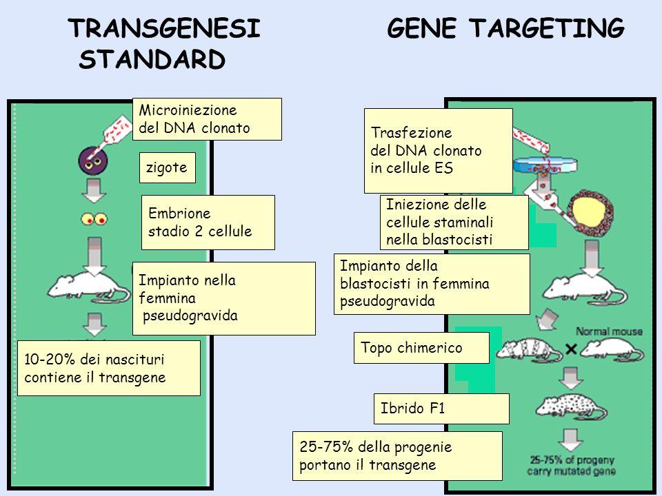 TRANSGENESI STANDARD GENE TARGETING Microiniezione del DNA clonato