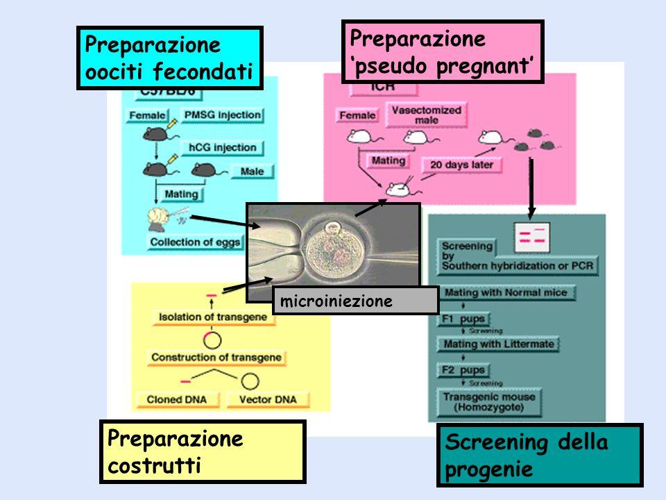 Preparazione costrutti Screening della progenie