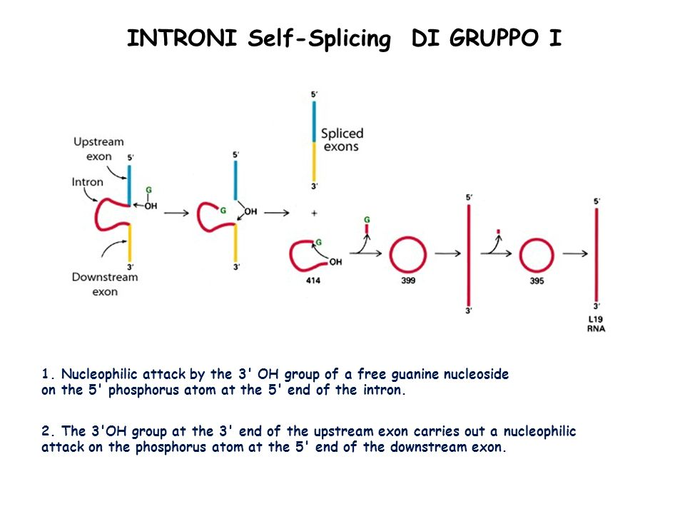 INTRONI Self-Splicing DI GRUPPO I
