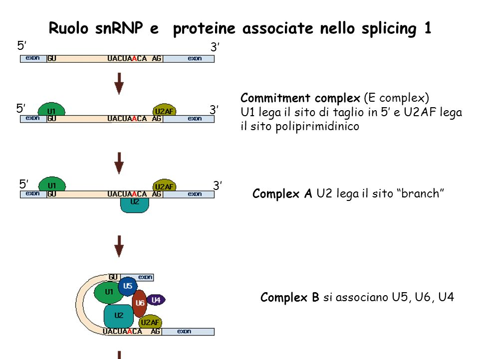 Ruolo snRNP e proteine associate nello splicing 1