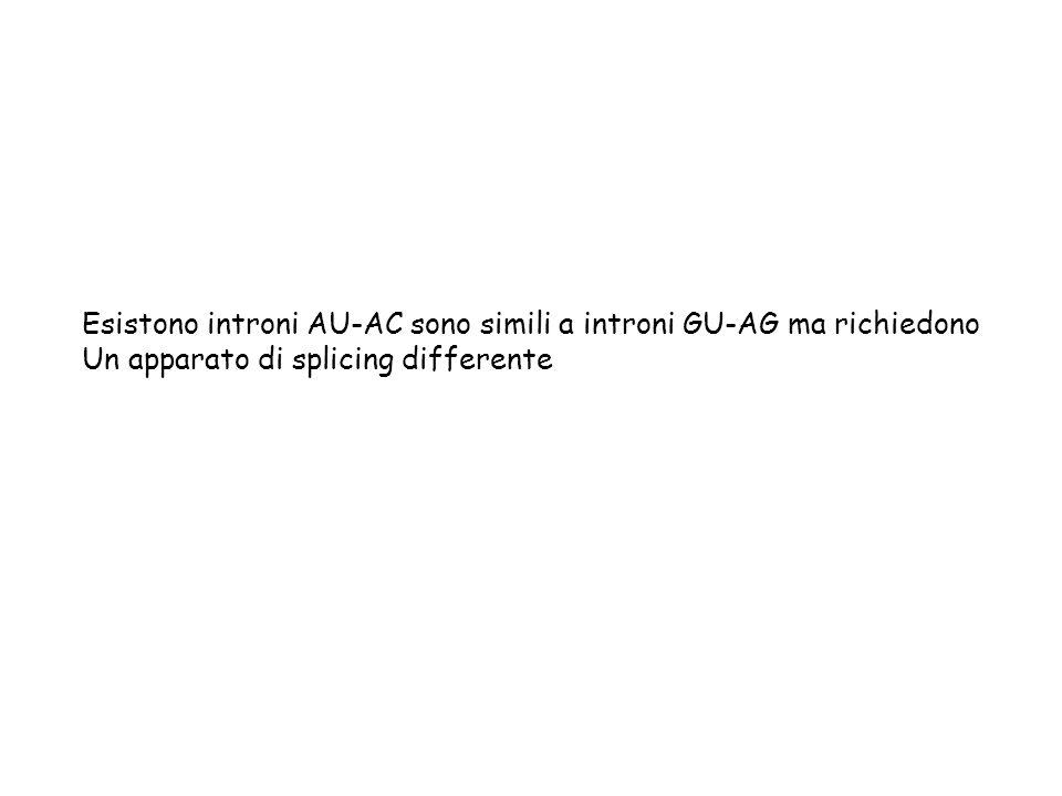 Esistono introni AU-AC sono simili a introni GU-AG ma richiedono