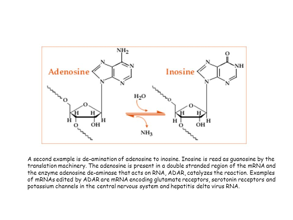 A second example is de-amination of adenosine to inosine