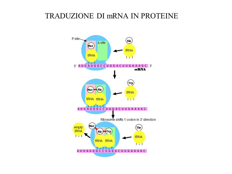 TRADUZIONE DI mRNA IN PROTEINE