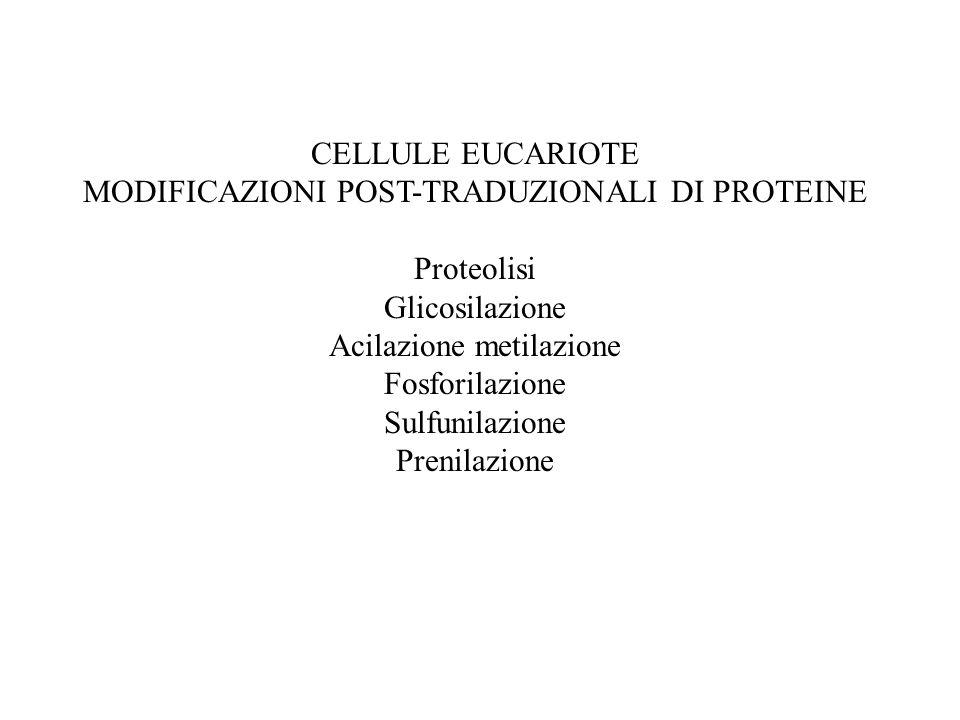 MODIFICAZIONI POST-TRADUZIONALI DI PROTEINE Proteolisi Glicosilazione