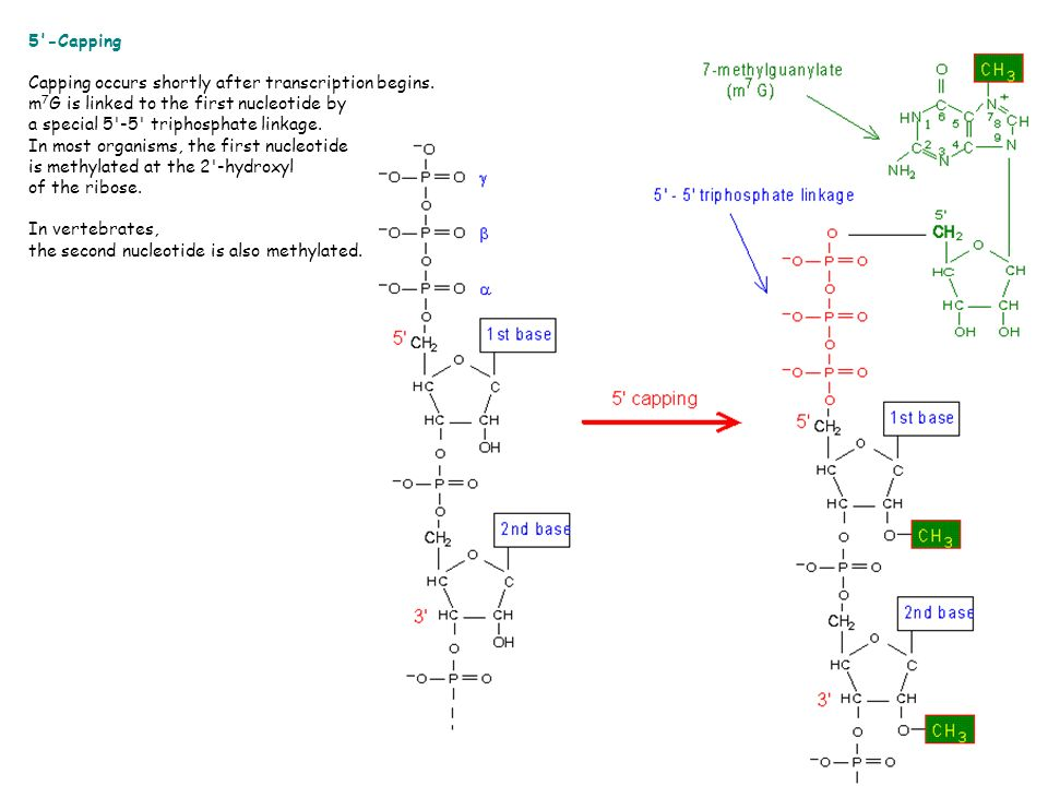 5 -Capping. Capping occurs shortly after transcription begins. m7G is linked to the first nucleotide by.