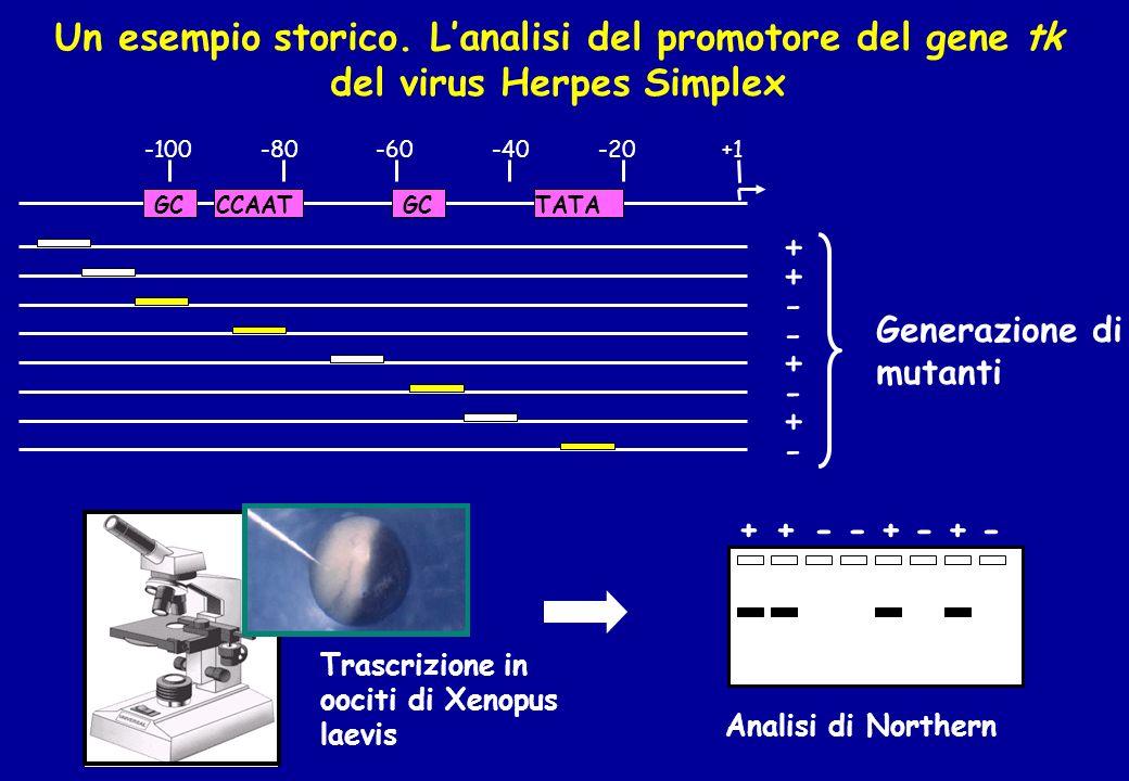 Un esempio storico. L'analisi del promotore del gene tk del virus Herpes Simplex