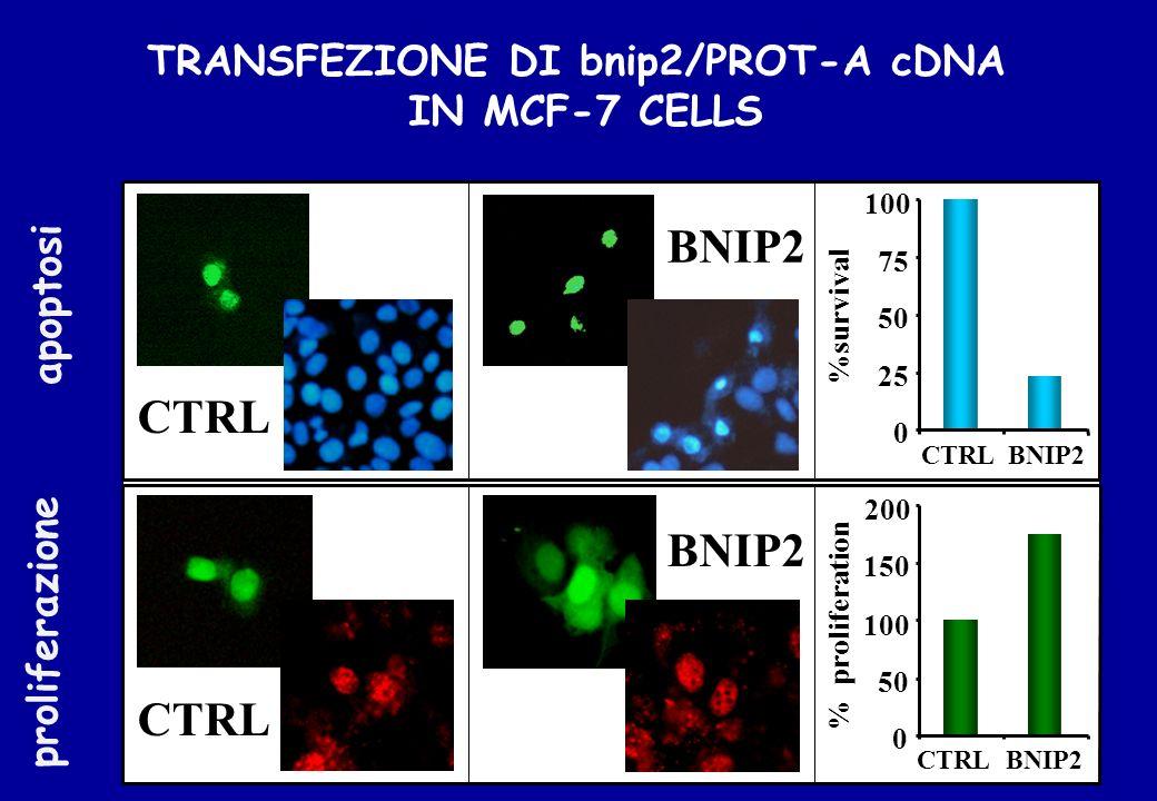 TRANSFEZIONE DI bnip2/PROT-A cDNA