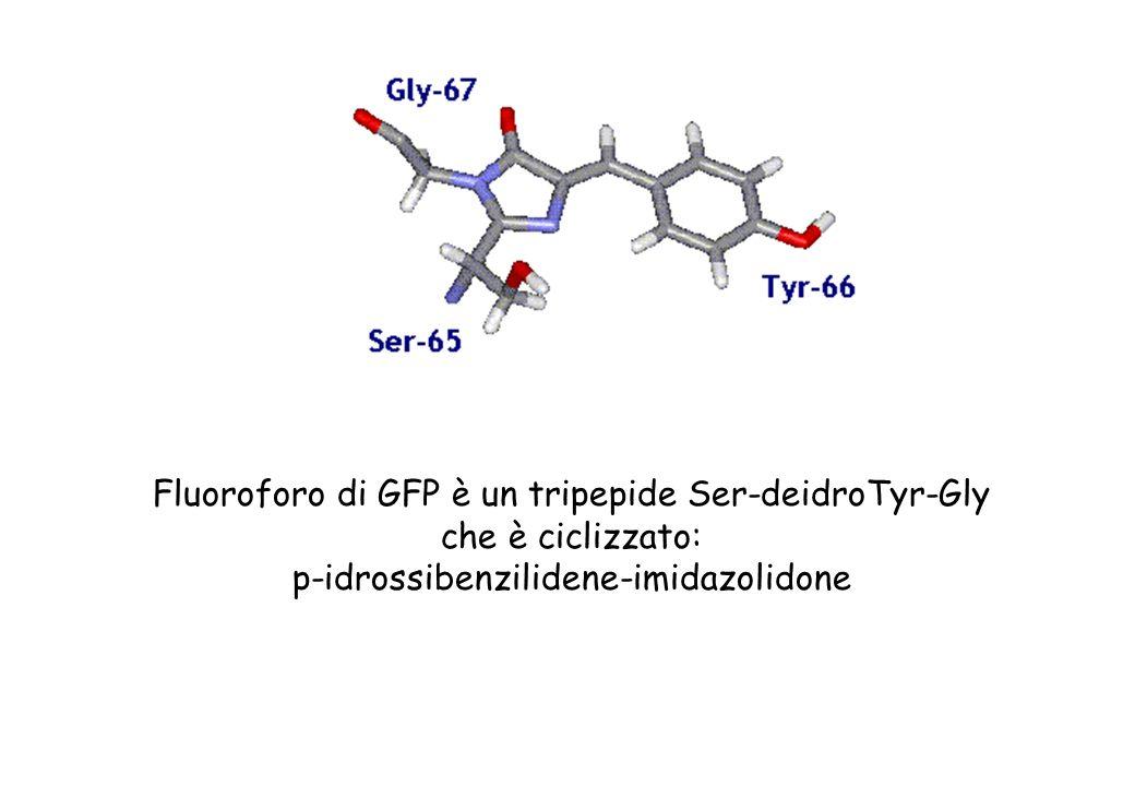 Fluoroforo di GFP è un tripepide Ser-deidroTyr-Gly che è ciclizzato: