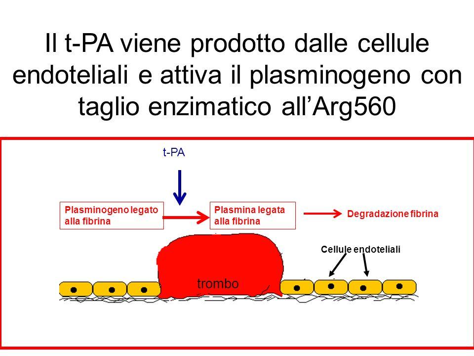 Il t-PA viene prodotto dalle cellule endoteliali e attiva il plasminogeno con taglio enzimatico all'Arg560