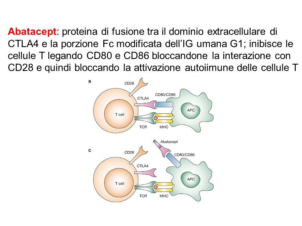 Abatacept: proteina di fusione tra il dominio extracellulare di CTLA4 e la porzione Fc modificata dell'IG umana G1; inibisce le cellule T legando CD80 e CD86 bloccandone la interazione con CD28 e quindi bloccando la attivazione autoiimune delle cellule T