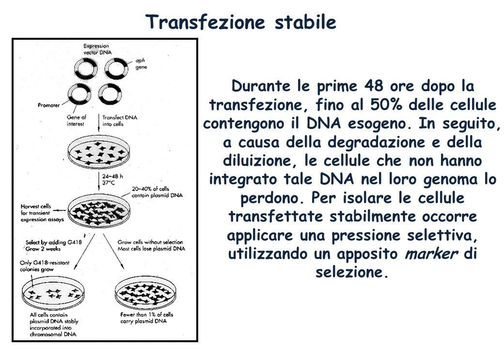 Transfezione stabile