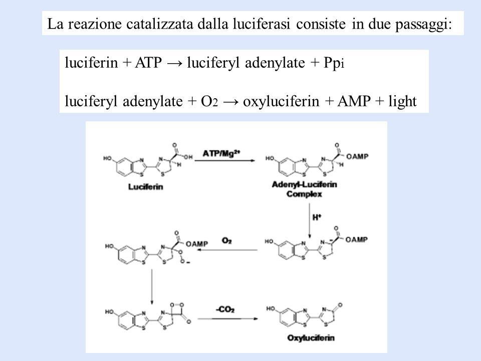 La reazione catalizzata dalla luciferasi consiste in due passaggi: