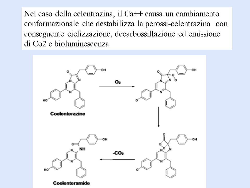 Nel caso della celentrazina, il Ca++ causa un cambiamento conformazionale che destabilizza la perossi-celentrazina con conseguente ciclizzazione, decarbossillazione ed emissione di Co2 e bioluminescenza