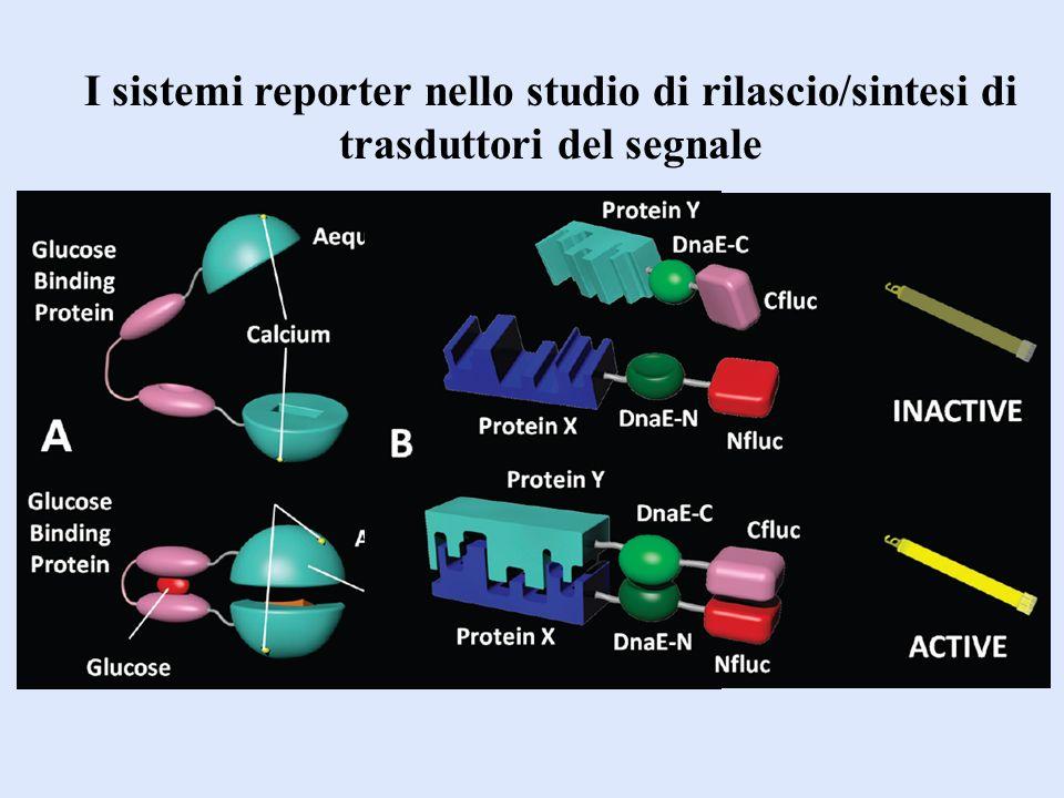 I sistemi reporter nello studio di rilascio/sintesi di trasduttori del segnale