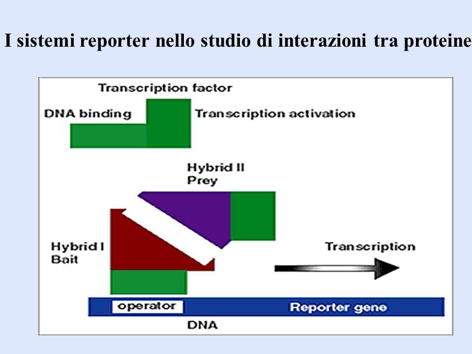 I sistemi reporter nello studio di interazioni tra proteine