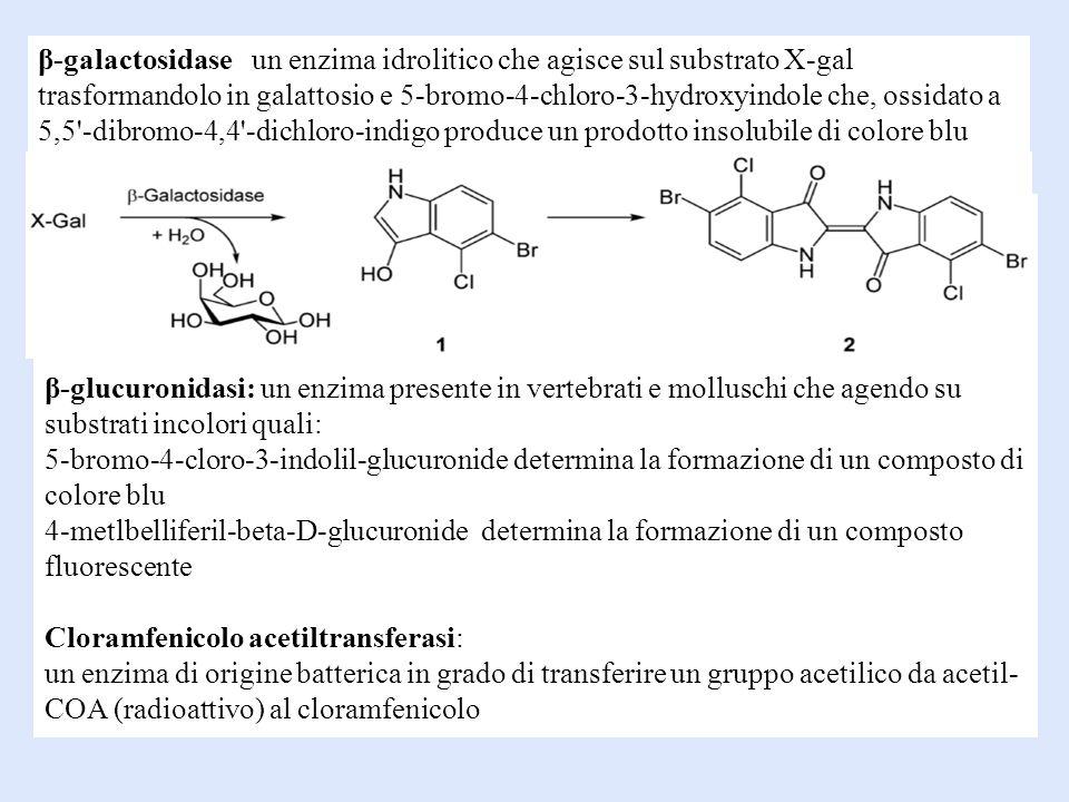 β-galactosidase un enzima idrolitico che agisce sul substrato X-gal trasformandolo in galattosio e 5-bromo-4-chloro-3-hydroxyindole che, ossidato a 5,5 -dibromo-4,4 -dichloro-indigo produce un prodotto insolubile di colore blu