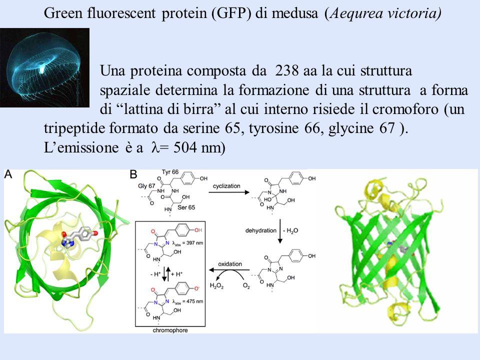 Green fluorescent protein (GFP) di medusa (Aequrea victoria)