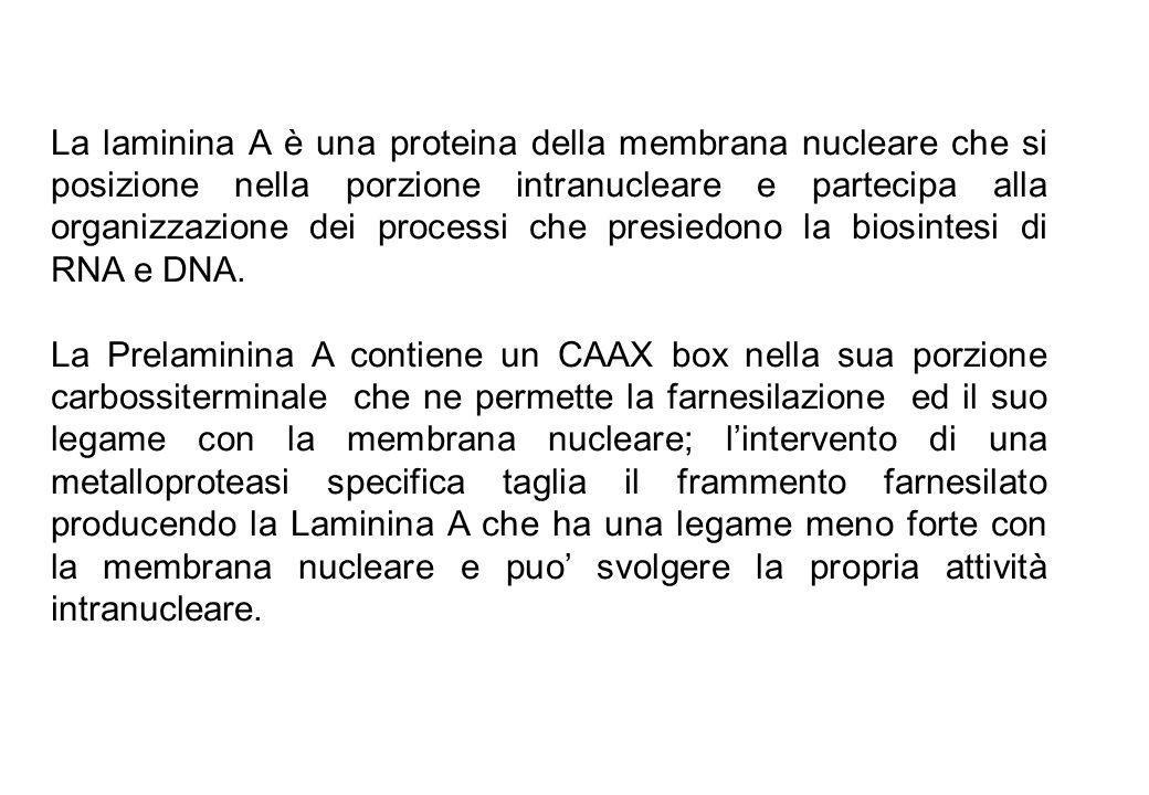 La laminina A è una proteina della membrana nucleare che si posizione nella porzione intranucleare e partecipa alla organizzazione dei processi che presiedono la biosintesi di RNA e DNA.
