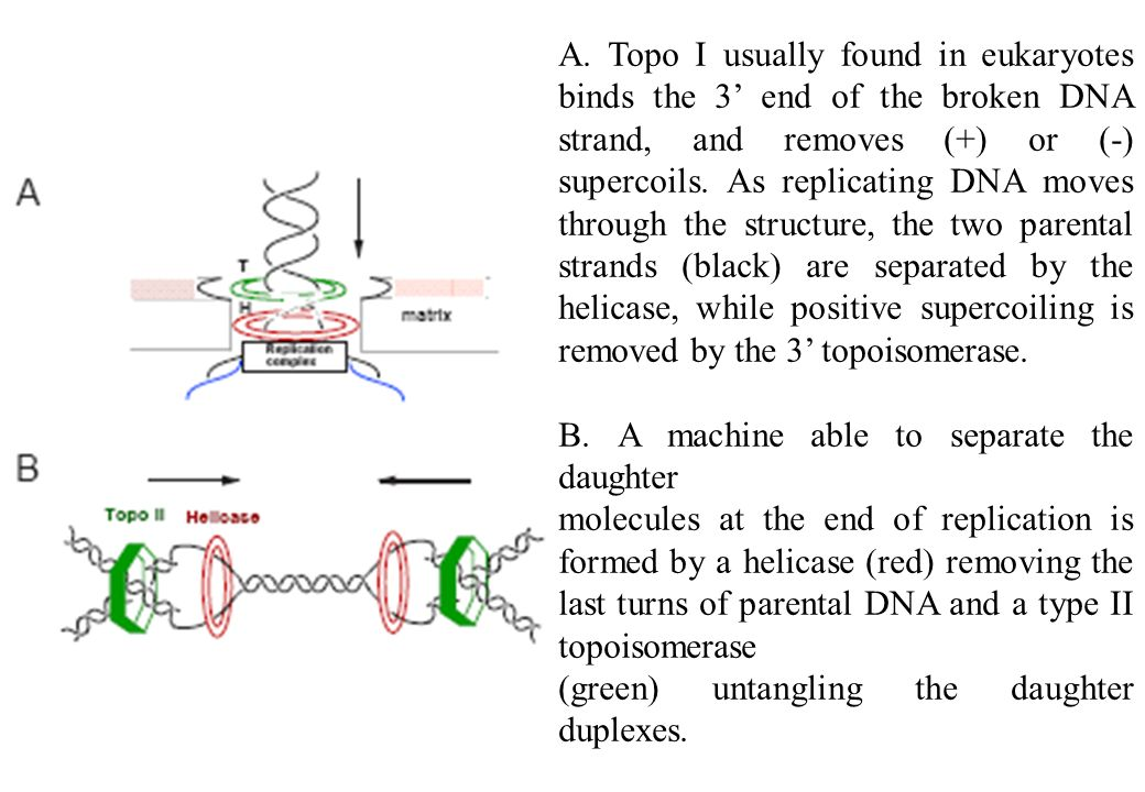 A. Topo I usually found in eukaryotes binds the 3' end of the broken DNA strand, and removes (+) or (-) supercoils. As replicating DNA moves through the structure, the two parental strands (black) are separated by the helicase, while positive supercoiling is removed by the 3' topoisomerase.