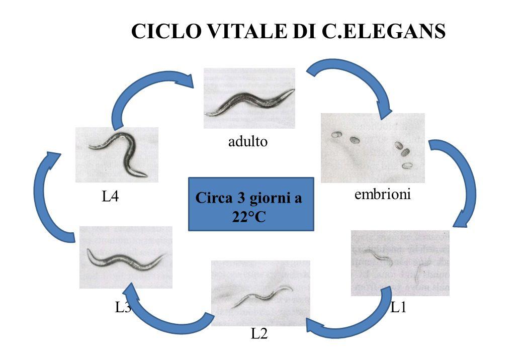 CICLO VITALE DI C.ELEGANS