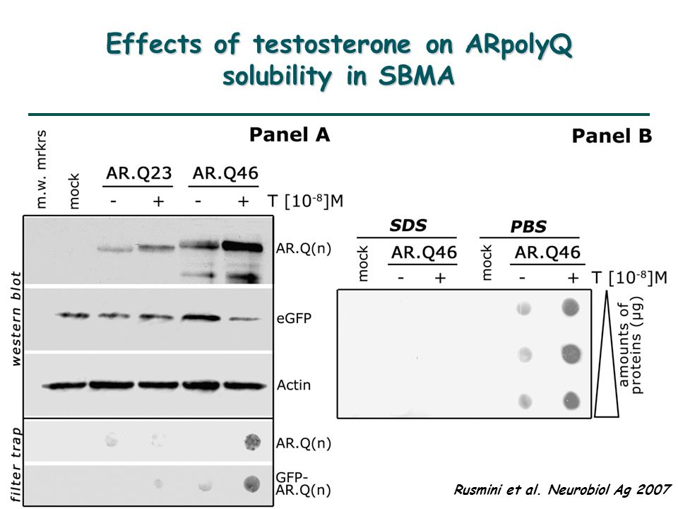 Effects of testosterone on ARpolyQ solubility in SBMA