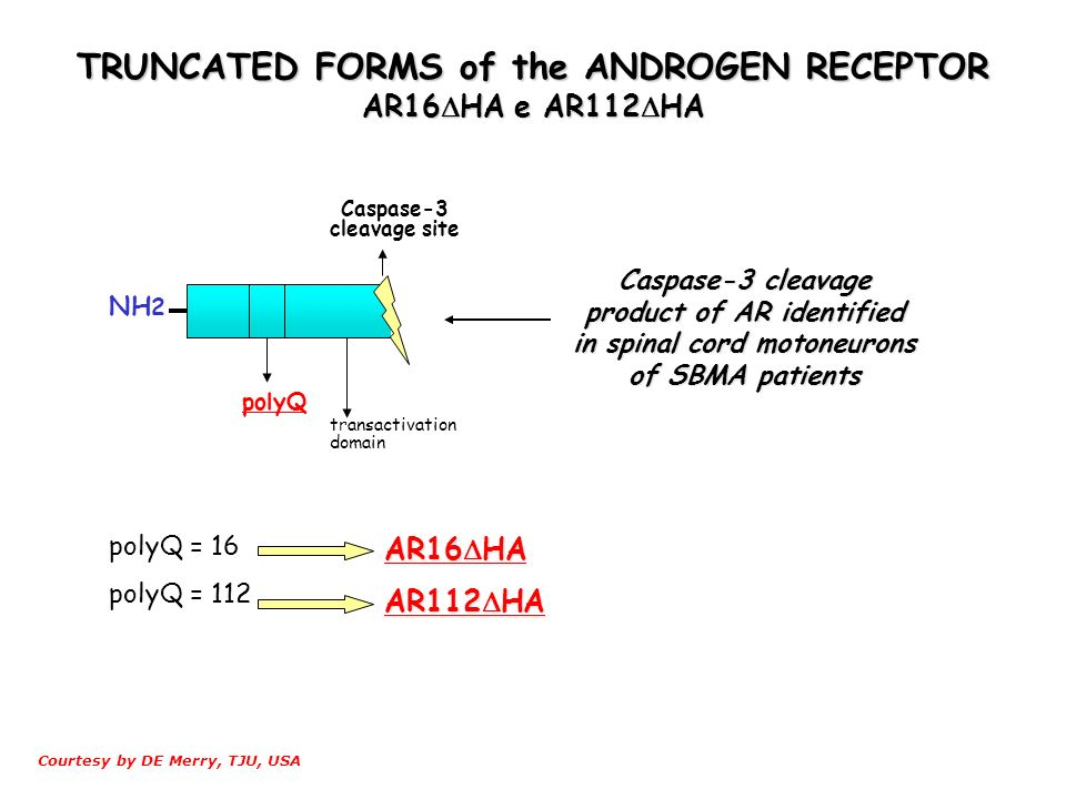 TRUNCATED FORMS of the ANDROGEN RECEPTOR AR16HA e AR112HA