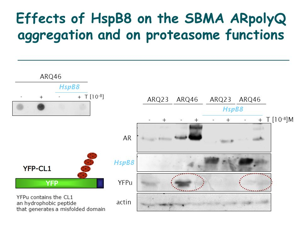 Effects of HspB8 on the SBMA ARpolyQ aggregation and on proteasome functions