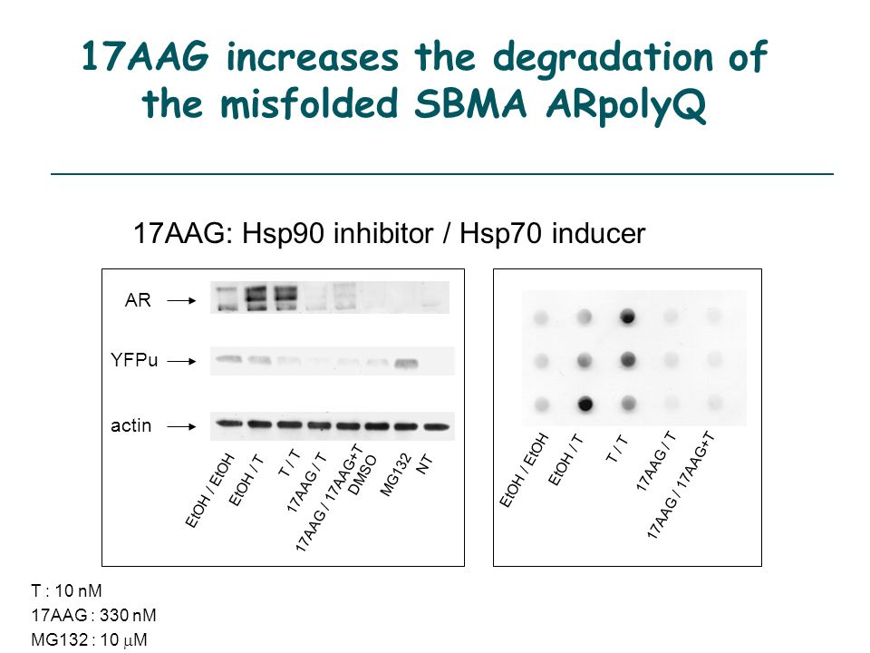 17AAG increases the degradation of the misfolded SBMA ARpolyQ