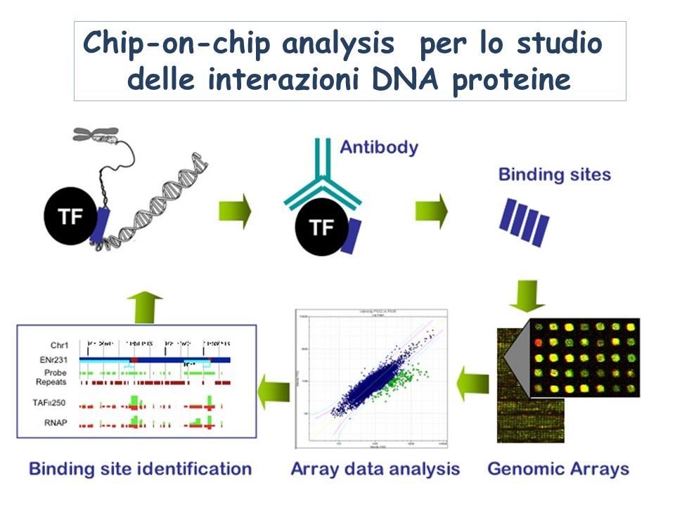 Chip-on-chip analysis per lo studio delle interazioni DNA proteine