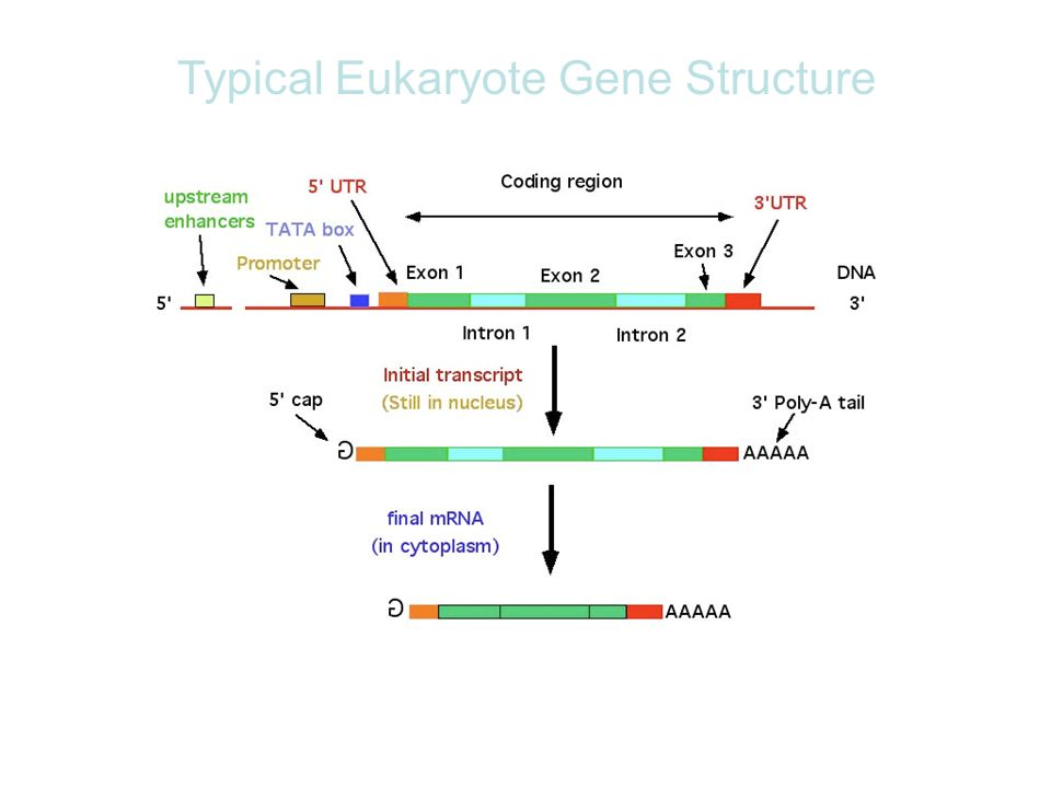 Typical Eukaryote Gene Structure